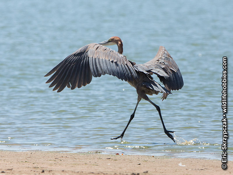 This is a photo of a , Heron - Goliath