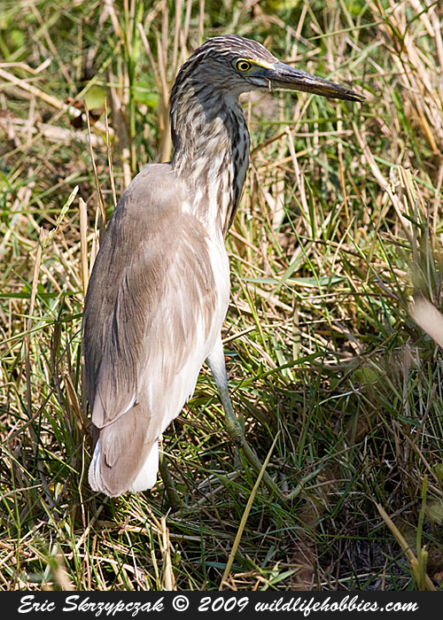This is a photo of a Heron - Indian-Pond