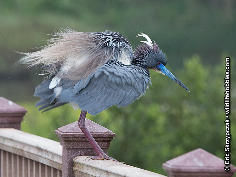 This is a photo of a Heron - Tricolored