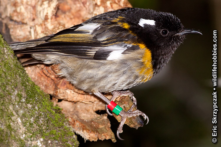This is a photo of a Hihi