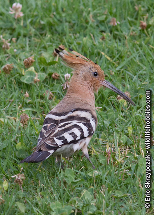 This is a photo of a Hoopoe