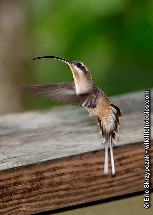 Humingbird - Long-tailed Hermit']; ?>