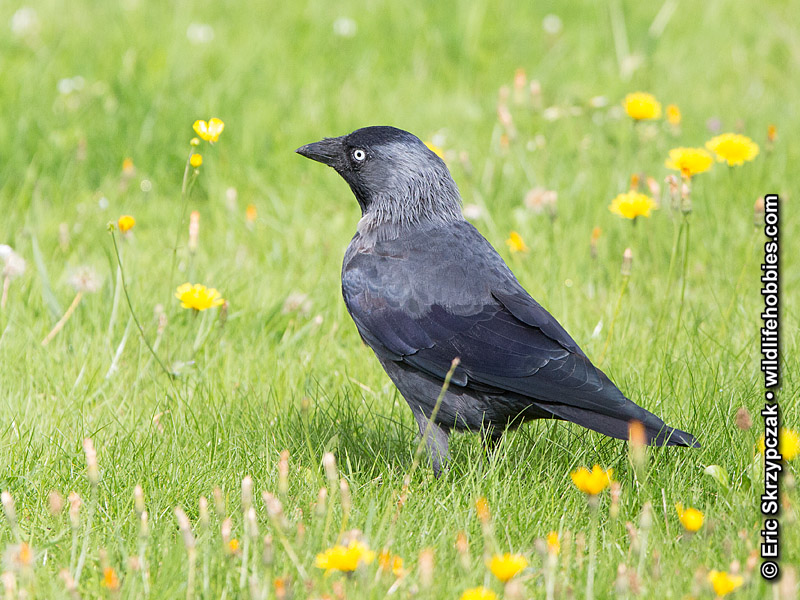 This is a photo of a Jackdaw