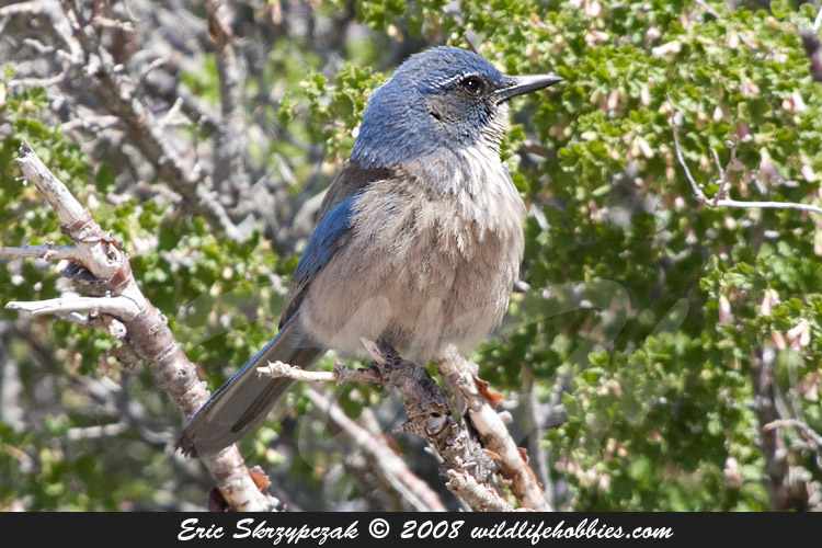 Photograph of the Bird Species: Aphelocoma californica <em>