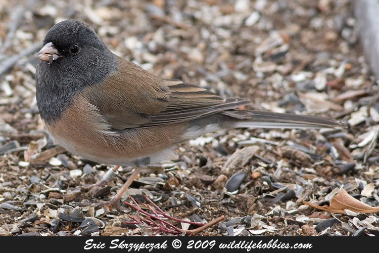 Photograph of the Bird Species: Junco hyemalis <em>