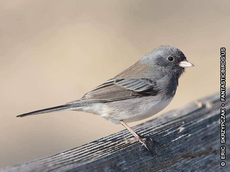 This is a photo of a Junco Dark-eyed - Slate