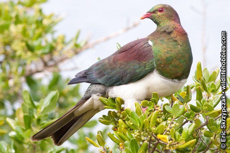 This is a photo of a Kereru