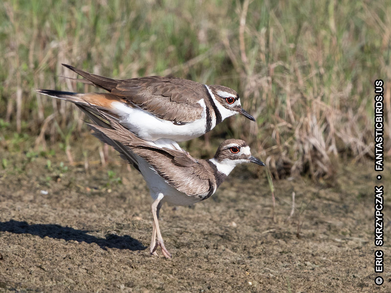 This is a photo of a Killdeer