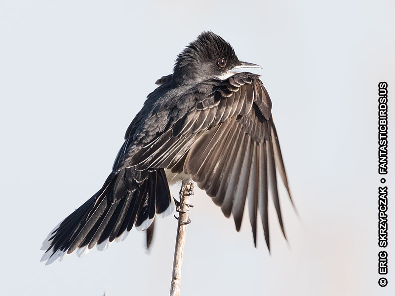 This is a photo of a Kingbird - Eastern