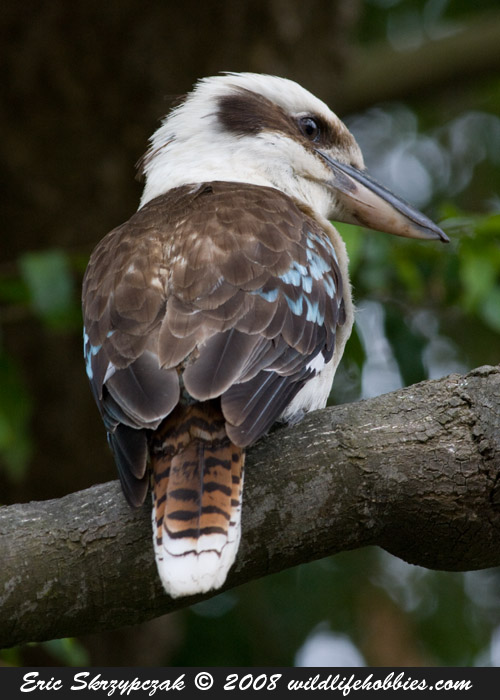 Kookaburra - Laughing']; ?>