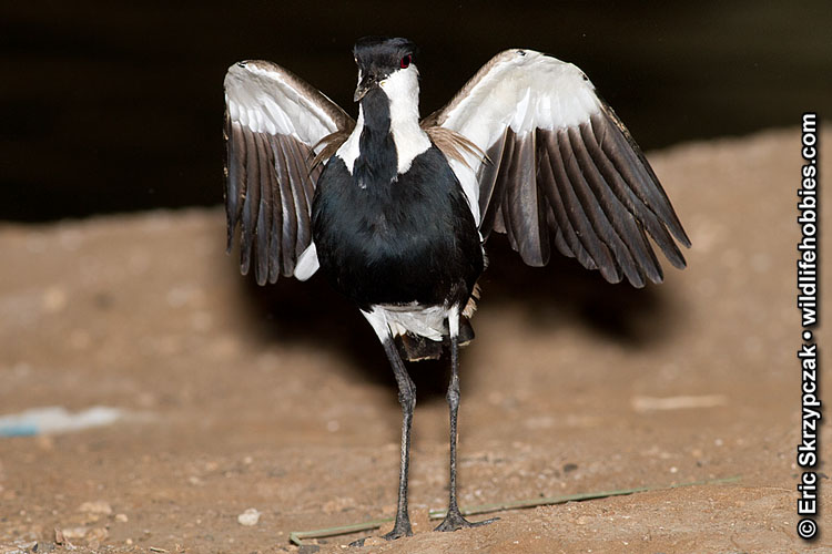 This is a photo of a , Lapwing - Spur-winged