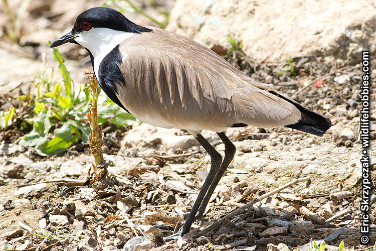 Lapwing - Spur-winged']; ?>