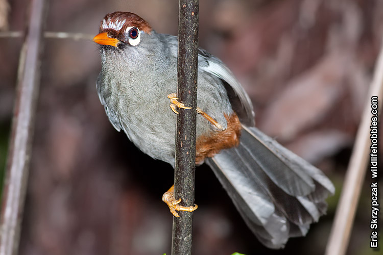 This is a photo of a Laughingthrush - Chestnut-capped