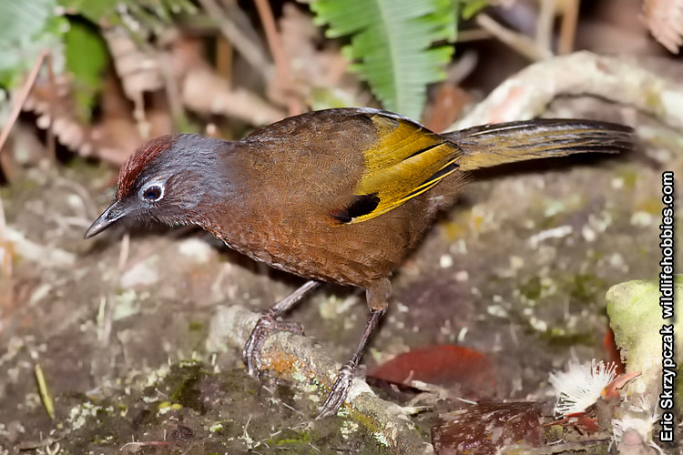 This is a photo of a Laughingthrush - Chestnut-crowned