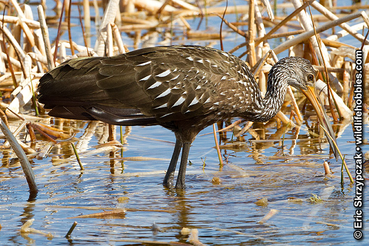 This is a photo of a , Limpkin