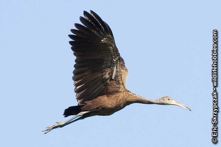 This is a photo of a Limpkin