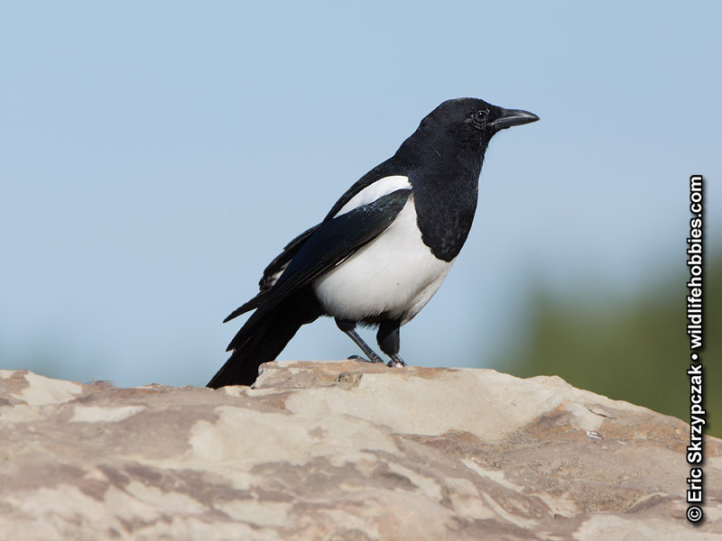 This is a photo of a Magpie - Black-billed