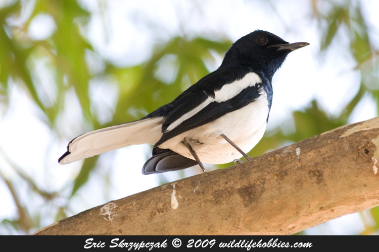 Photograph of the Bird Species: Copsychus saularis <em>