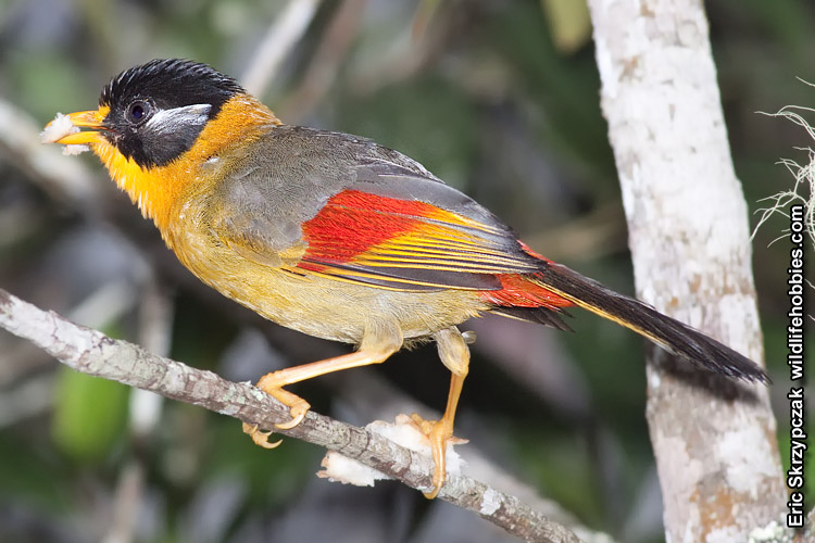This is a photo of a Mesia - Silver-eared
