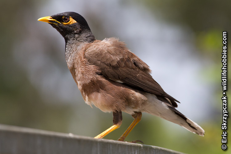 This is a photo of a Myna - Common