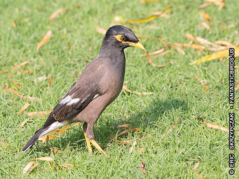 Photograph of the Bird Species: Acridotheres tristis <em>