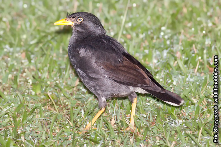 This is a photo of a , Myna - White-vented