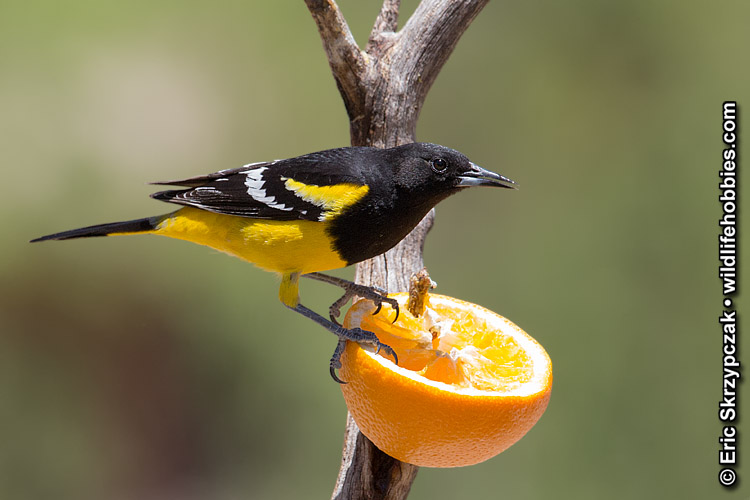 This is a photo of a , Oriole - Scotts