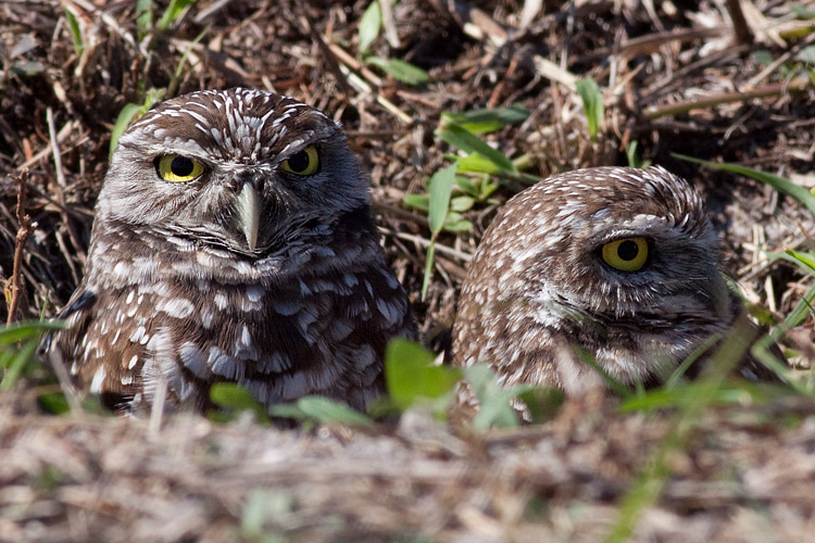 Owl - Burrowing']; ?>