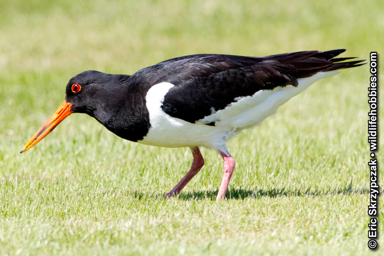 Photograph of the Bird Species: Haematopus ostralegus <em>