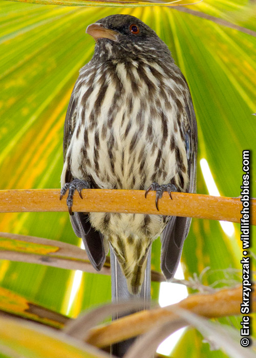 This is a photo of a Palmchat
