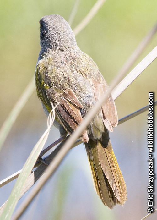 This is a photo of a Pampa-finch - Great