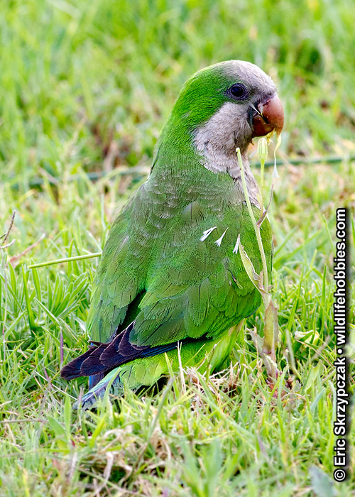 This is a photo of a Parakeet - Monk