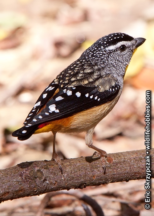 This is a photo of a Pardaloyte - Spotted, Pardalotus punctatus