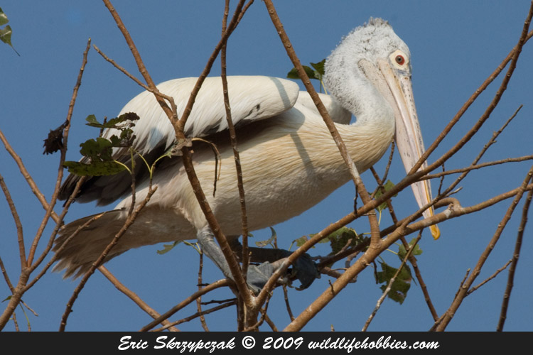 This is a photo of a Pelican - Spot-billed