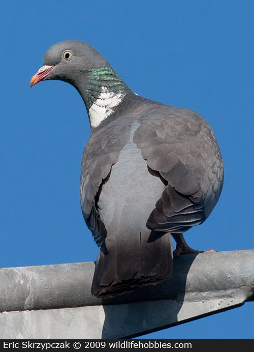 Photograph of the Bird Species: Columba palumbus <em>