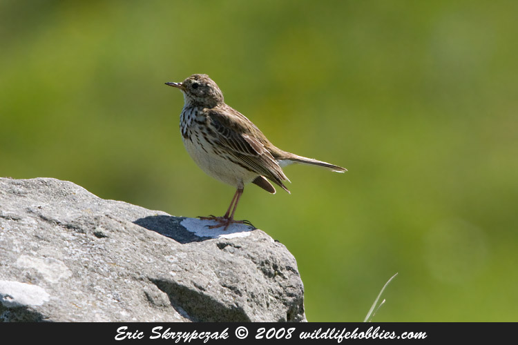 This is a photo of a , Pipit - Meadow