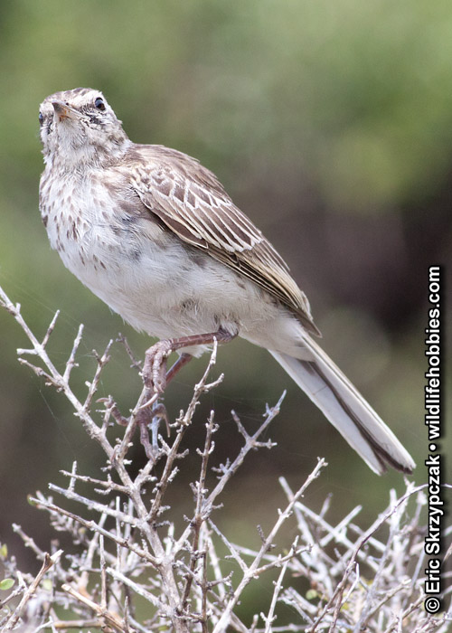 This is a photo of a Pipit - New Zealand