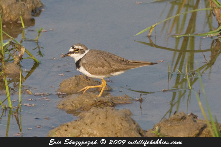 This is a photo of a Plover - Little-ringed
