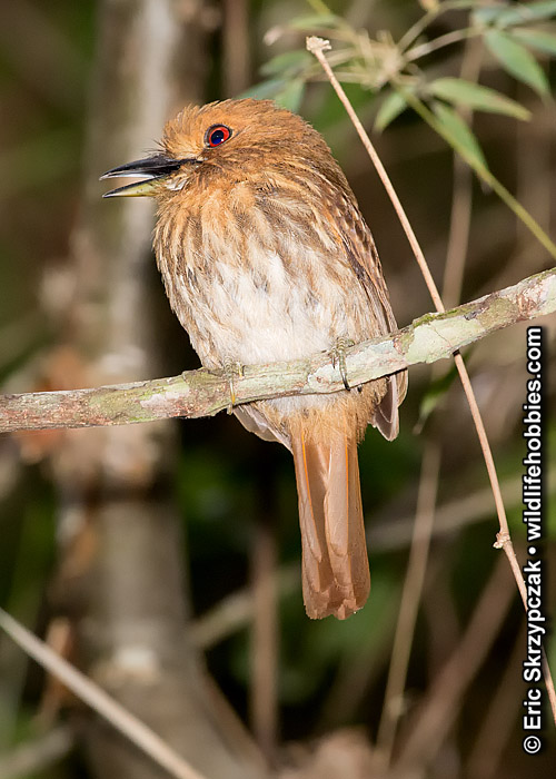 This is a photo of a Puffbird - White-whiskered