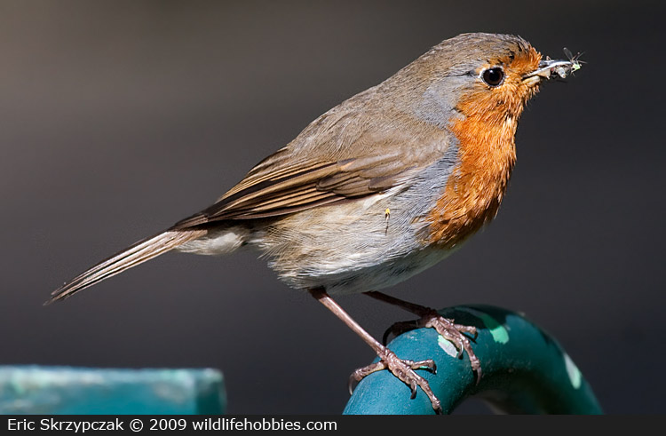 This is a photo of a Robin - European