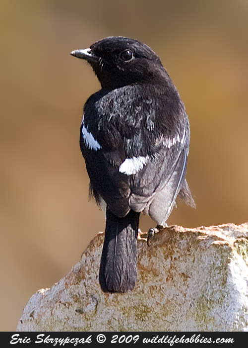 Photograph of the Bird Species: Saxicoloides fulicatus <em>