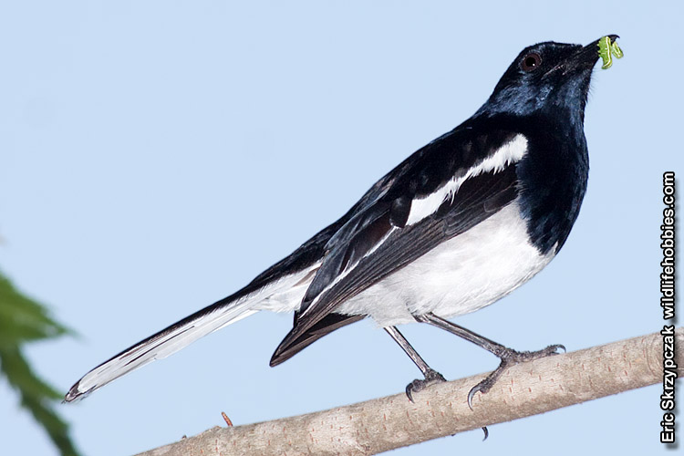 This is a photo of a Magpie-Robin - Oriental