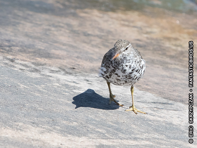 Photograph of the Bird Species: Sandpiper - Spotted <em>Actitis macularius