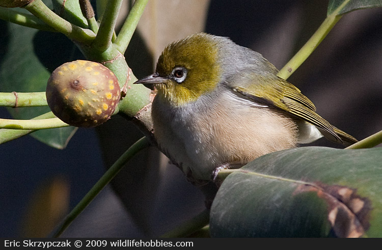This is a photo of a , Silvereye - Grey-backed