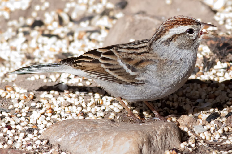 Sparrow - Chipping']; ?>