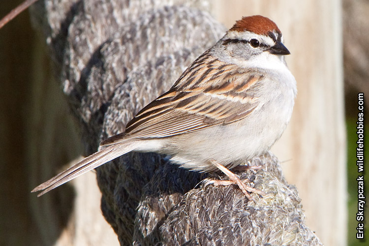 Photograph of the Bird Species: Spizella passerina <em>