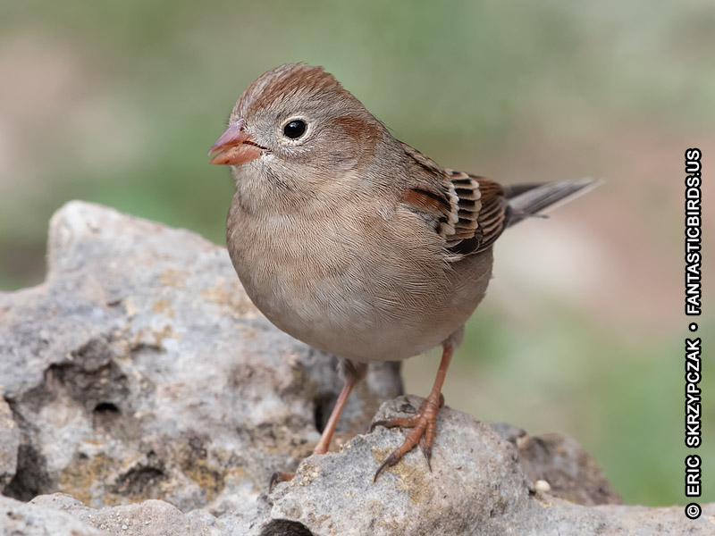 Photograph of the Bird Species: Spizella pusilla <em>