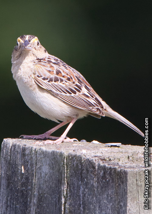 Photograph of the Bird Species: Ammodramus savannarum <em>