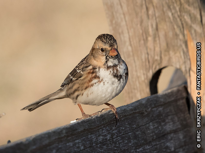 This is a photo of a Sparrow - Harris's