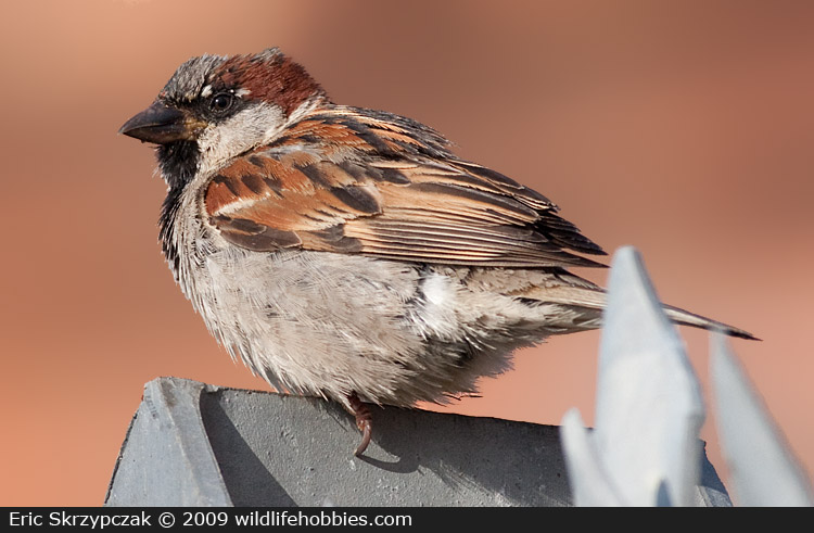 This is a photo of a Sparrow - House